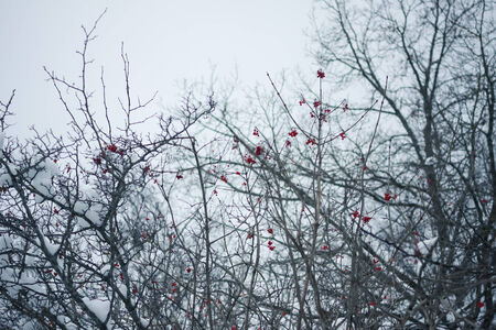 Rowan tree in the snow - winter image photo