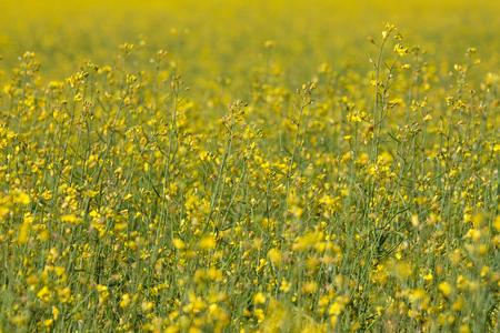 rape oil seed field -yellow flowers photo
