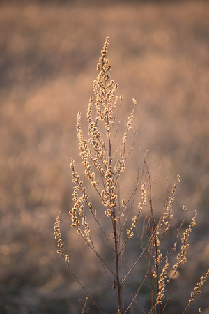 Dry grass at the evening sunset photo