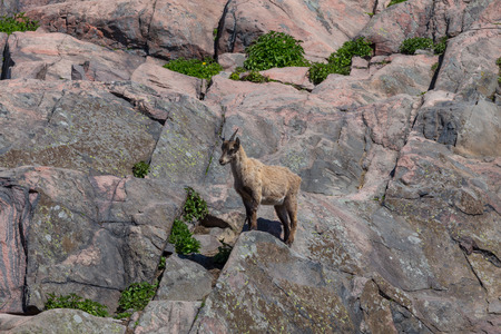 steinbeck: A mountain goat on the side of a hill at Korkeasaari, Helsinki Zoo