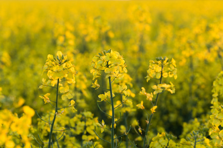 field of yellow rapeseed flowers at sunset photo