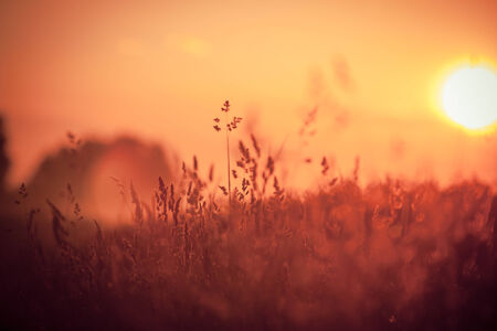 red grass: Dry Red Grass Field In Sunset Sunlight  Beautiful Yellow Sunrise Light Over Meadow