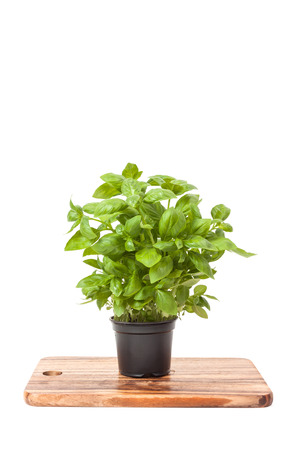 basil in a pot, isolated on white background photo