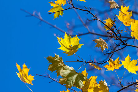 Lonely autumn yellow maple leaves - tree details photo