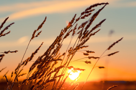 Grass at sunset with strong wind and sun  photo