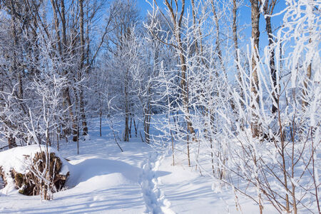 Footprints in the snow of a winter landscape in a forest photo