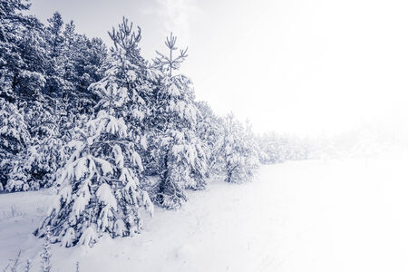 non urban scene: Spruce Tree foggy Forest Covered by Snow in Winter Landscape Stock Photo