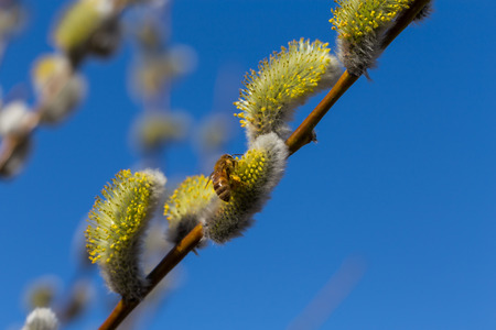Willow blossom with bee and blue sky photo