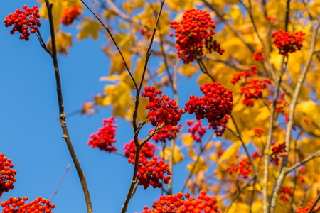 sorbus: Rowan in autumn with yellow leaves at the back