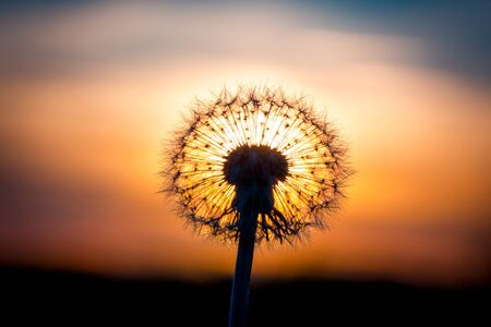 fused: Dandelion flower fused with sunset