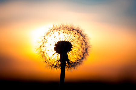 flower bulb: Dandelion flower fused with sunset looking like a bulb