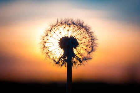 dandelion: Dandelion flower fused with sunset looking like a bulb