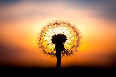 fused: Dandelion flower fused with sunset looking like a bulb