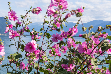 montreux: Flowers against mountains and lake Geneva from the Embankment in Montreux. Switzerland