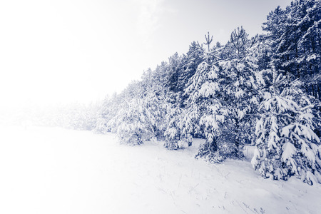 snow capped: Spruce Tree foggy Forest Covered by Snow in Winter Landscape Stock Photo