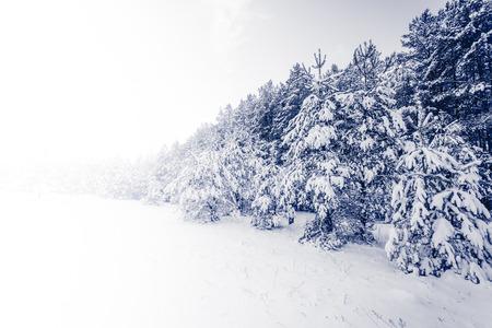 arbol de pino: Spruce Tree niebla Bosque cubierto por la nieve en paisaje del invierno