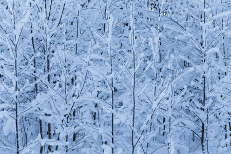 winter trees: Winter trees background. Winter landscape with trees
