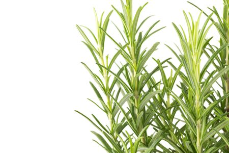 rumple: Branches of rosemary isolated on a white background