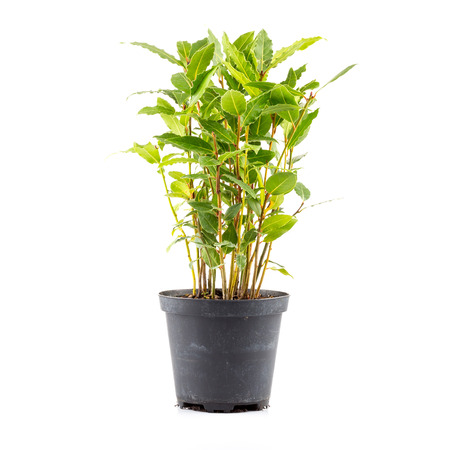 nobilis: Small laurel tree in flower pot isolated on white background. Closeup.