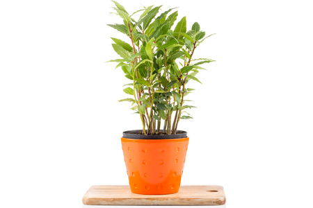 grecian: Small laurel tree in flower pot isolated on white background. Closeup.