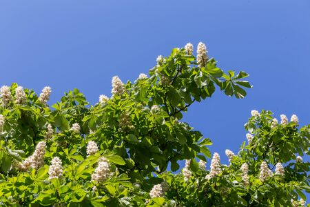 castanea sativa: Flowering branches of chestnut tree on blue sky - Castanea sativa