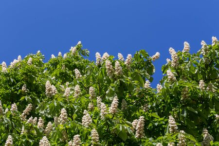 Flowering branches of chestnut tree on blue sky - Castanea sativa