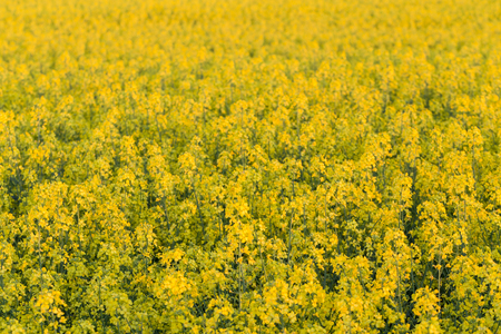 rapeseed: field of yellow rapeseed flowers at sunset