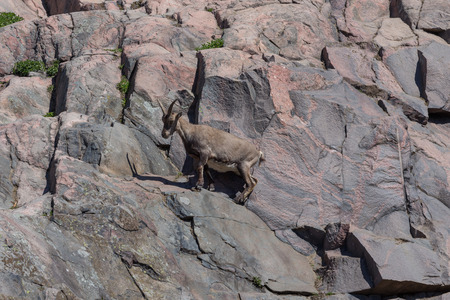 steinbeck: A mountain goat on the side of a hill