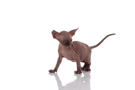 One month old Canadian sphynx kitten cat on white background Stock Photo