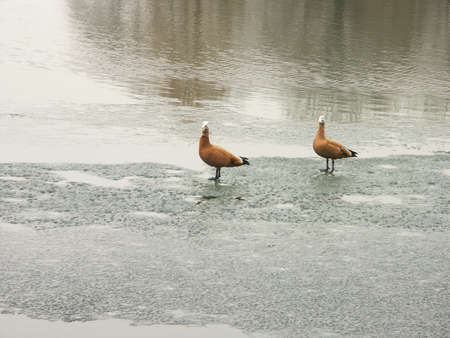 two geese on ice spring, march Stock Photo - 1585602