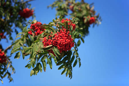 ashberry with leafs on sky background, spetember Stock Photo - 1771519