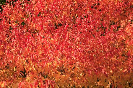 red and yellow leafs for background , autumn Stock Photo - 1771522