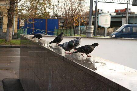 parapet: dove on granite parapet at autumn