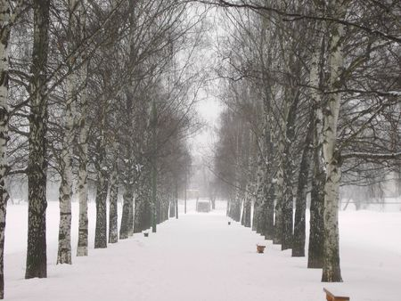 alley of  birch at winter photo