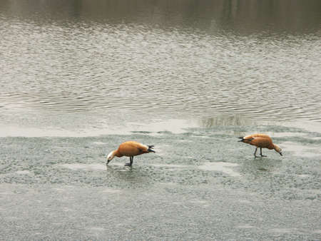two geese on ice spring, march photo