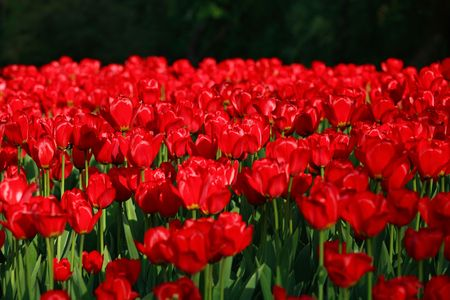 tulip at spring on Earth Stock Photo - 3084152