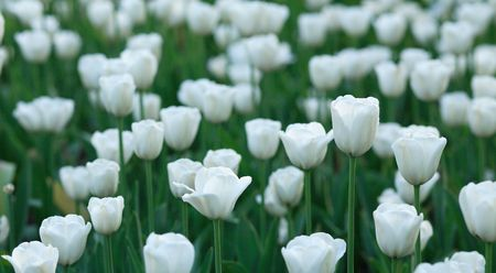 tripped: white tulip at spring on Earth