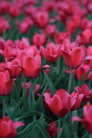 red tulip at spring on Earth Stock Photo - 3091686
