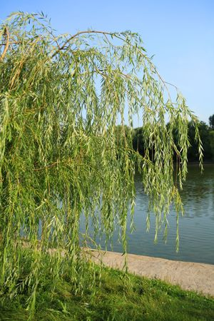 weeping willow in city park at day photo