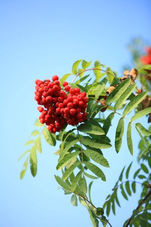 空を背景に持つ ashberry 葉します。 写真素材