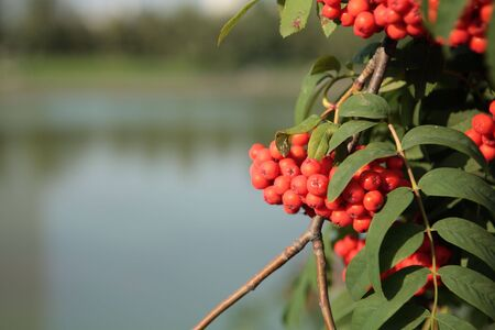 ashberry with leafs on water background photo