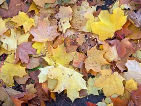 maple leafs on earth at autumn Stock Photo - 3530803