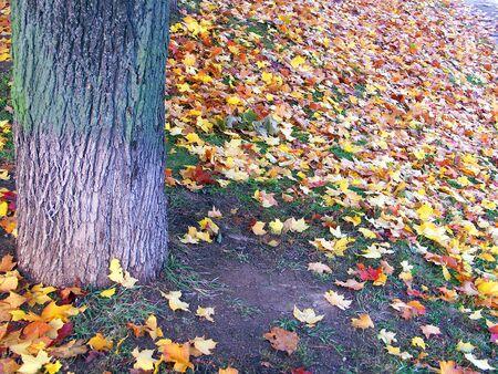 maple yellow leafs at autumn photo
