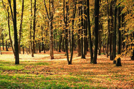 trees in gold fall at september photo