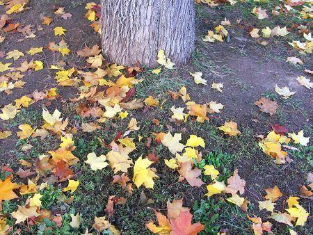 maple leafs on earth at autumn photo