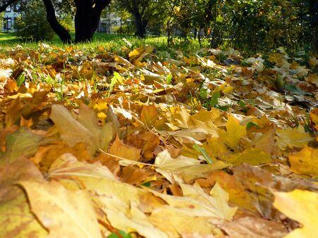 yellow maple carpet at autumn Stock Photo - 3679057