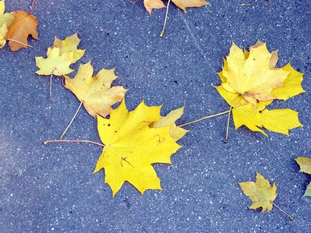 yellow maple carpet on asphalt at autumn Stock Photo - 3701449