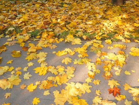 yellow maple carpet on asphalt at autumn photo