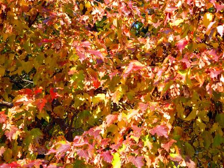 birch leafs at autumn in september photo
