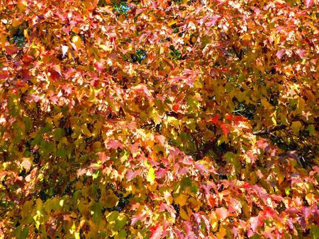 birch at autumn in september photo